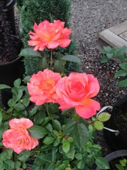 *Rogue Valley Rose Care and Pruning