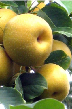 *Pruning Older Fruit Trees