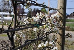 *Beginners Guide to Pruning, Planting & Training Fruit Trees