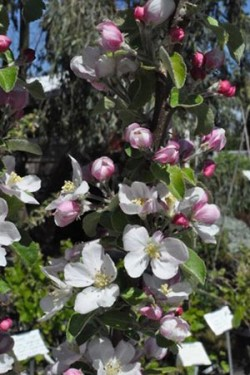 *Fruit Tree Pruning & Training - Beginning