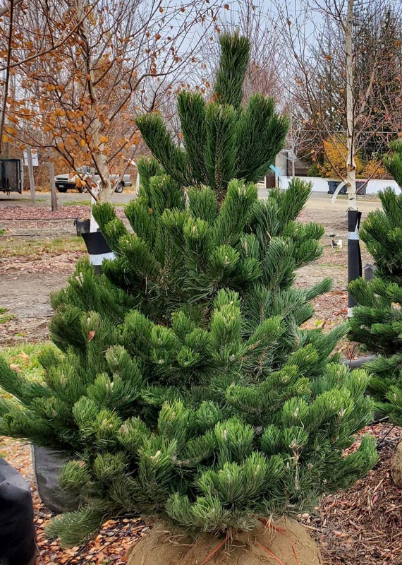 Oregon Green Pine crop