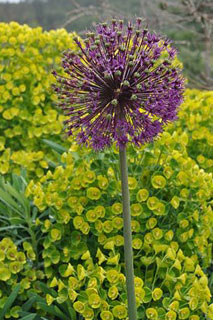 Euphorbia-with-Allium