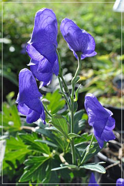 Aconitum 'Arendsii' or Monkshood