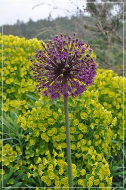Allium 'Purple Sensation' with Euphorbia Characias Wulfenii