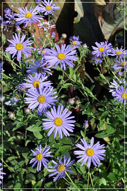 Aster 'Moench'