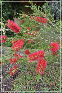 Callistemon Linearis - Bottlebrush