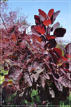 Cotinus 'Grace' - Smokebush
