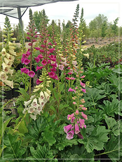 Digitalis varieties. Foxgloves