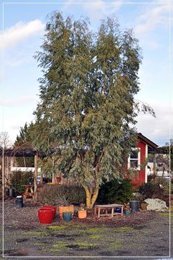 Eucalyptus Stellulata, four years after planting