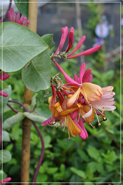 'Goldflame' Honeysuckle Vine