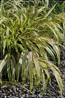 Hakonechloa 'Aurea' or Japanese Forest Grass