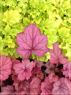 Heuchera 'Georgia Peach' and 'Lime marmalade'