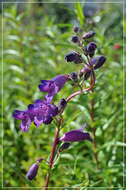 Penstemon 'Blue Midnight'