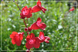 Penstemon 'Firebird'