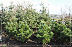 Pinus Thunbergii 'Thunderhead' - Thunderhead Pines and Blue Spruce