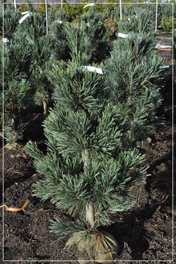 Pinus 'Vanderwolf' 3-4 foot