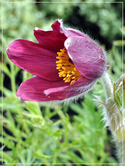 Pulsatilla Vulgaris - Pasque Flower