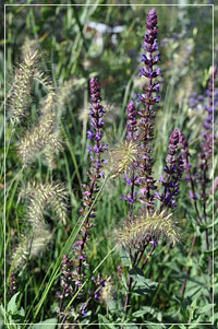 Salvia 'Caradonna' with Pennisetum 'Little Bunny'