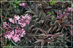 Sambucus 'Black Beauty' - Elderberry