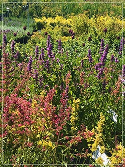 salvias alium drought tolerant plants