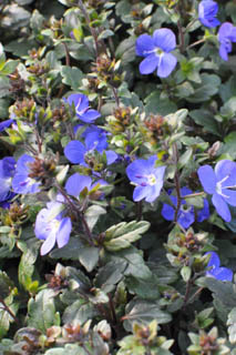 veronica_georgia_blue-_plant_of_the_week