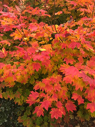 acer circinatum fall colors