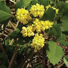 Creeping Oregon Grape